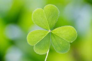 Three leaf clover photo