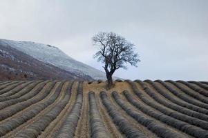Almendro solitario en campo de lavandas inviernos foto