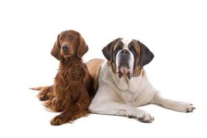 Saint Bernard and a Irish Setter dog