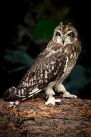 Indoor owl portrait.