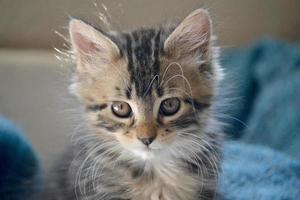 Indoor sunlit portrait of young grey tabby kitten