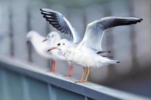Gull of Japan