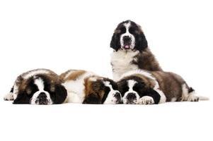 St Bernard puppies isolated on white