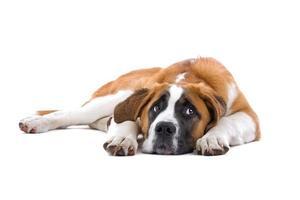 Saint Bernhard dog