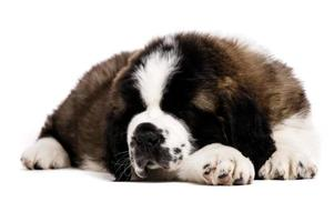 St Bernard puppy isolated on white