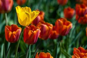 Yellow tulip surrounded by red tulips photo