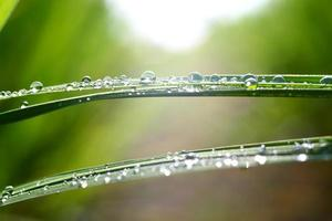 dew drop on rice leaves photo