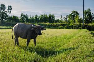 búfalo tailandés