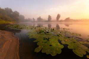 hermosos lirios en un lago