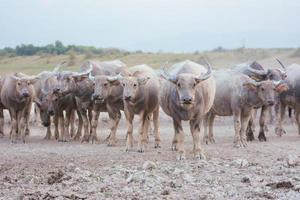 búfalos tailandeses