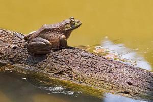 Big Bullfrog