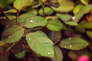 Delicate raindrops on rose leaves.