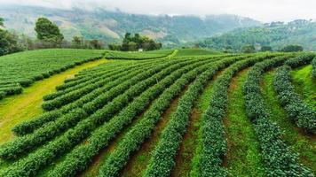 Tea plantation doi mae salong 101, Chiang Rai, THAILAND photo