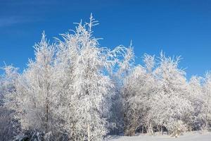 Hoarfrost trees photo