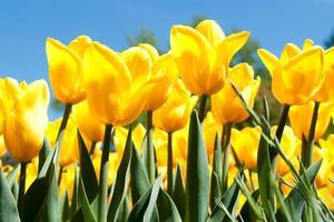 tulipanes amarillos vistos desde abajo