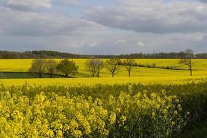 Campos de colza en primavera en Normandía