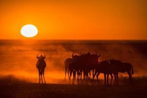 Sunrise in Etosha with Wildebeest photo