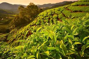 campos de plantaciones de té en la montaña