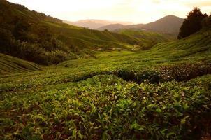 Tea Plantation Fields on the Mountain