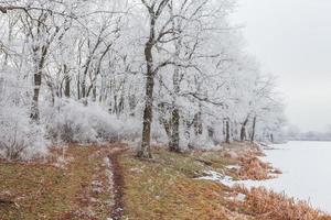 winter landscape frost oaks in frosty morning