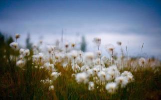 blurred northern wild flowers fluffy dandelions photo