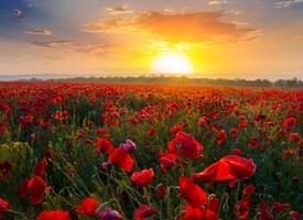 red poppy field at the sunset