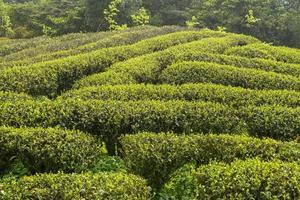 green tea plantations in  mountain