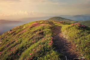 Mountain path through rhododendron flowers