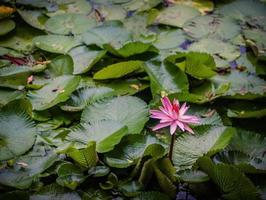 flor de loto rosa durante el día