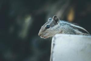 Close-up of a gray and black squirrel
