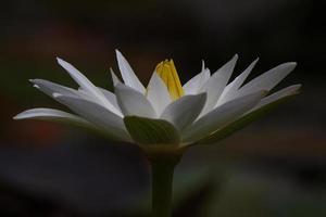 White lotus flower at night