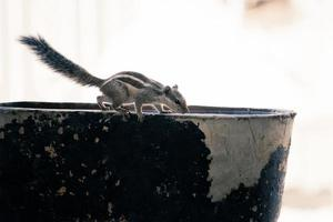 Gray squirrel on a bowl