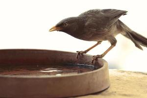 Brown bird on a water bowl