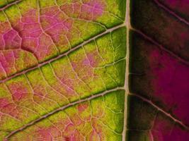Poinsettia leaf close-up