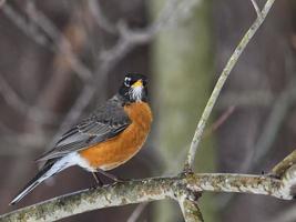 Male robin in winter scene