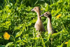 Close-up of two ducklings