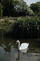 Swan on the river photo