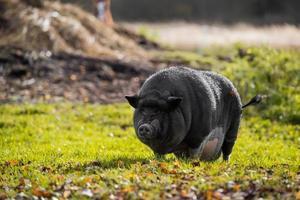 Black pig in green grass