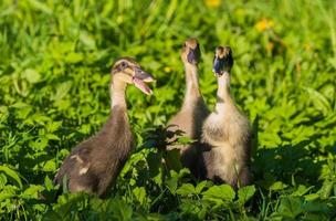 Three ducklings in grass
