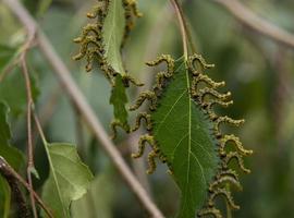Musgo de franja de oruga en un árbol de abedul