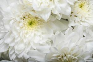 Chrysanthemum white flower close-up