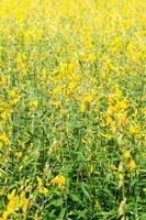 flores de crotalaria chachoengsao