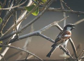Sparrow on a tree photo