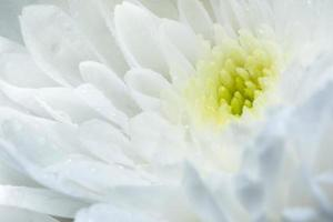 Chrysanthemum white flower close-up.