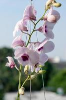 orquídea púrpura tailandesa foto