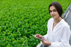 Researcher examines cabbage in the green house