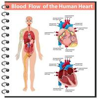 Blood Flow of the Human Heart information infographic vector