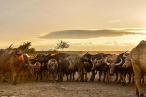 masas de búfalos tailandeses
