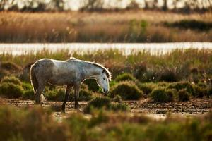 Young white horse of Camargue