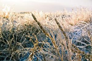 Meadow in Ice
